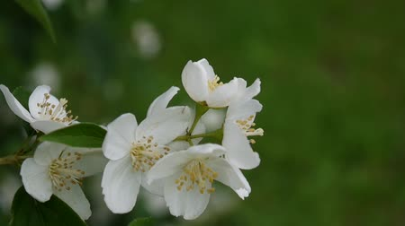philadelphus blossoms : Mock orange blooming close-up in the wind. video shooting static camera. Philadelphus.