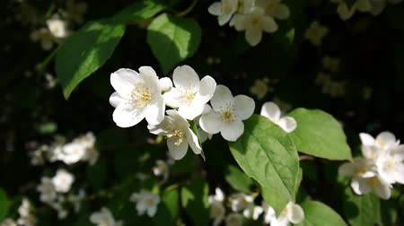 yasemin : Mock orange blooming close-up in the wind. video shooting static camera. Philadelphus.