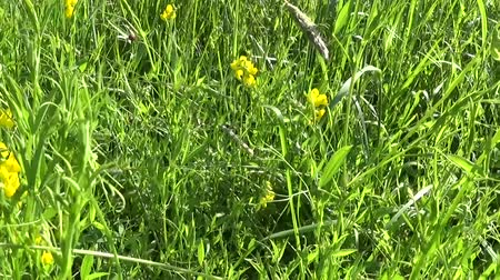 pratensis : Rank grassland wild flower in the meadow. HD video footage panorama motion camera. Lathyrus pratensis