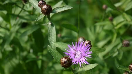 compositae : Meadow knapweed. Centaurea jacea flower in the summer field