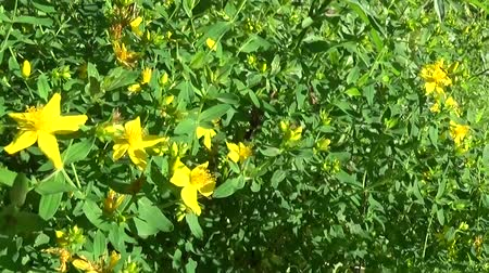 wort : St. Johns wort, medicinal plant with flower in the field. Stock Footage