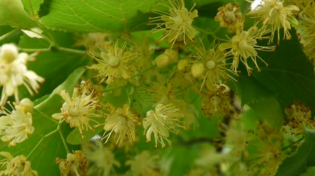 avelã : Hazelnuts on the branch close up. HD video footage.