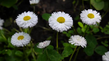 Daisies Growing on the Flowerbed