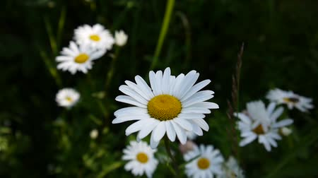 Wild daisies Growing on the field