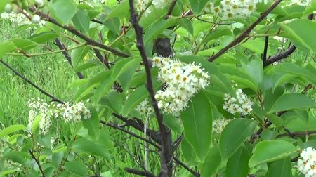 Flowering bird cherry spring close-up, branches in wind. Prunus padus. Video footage HD shooting moving with steadicam.