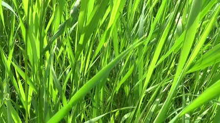 Green grass in the field in summer. HD video footage 1920x1080 slow motion horizontal panorama.