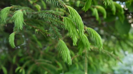 Young green fir tree branch moving in the light wind breeze. Closeup. Стоковые видеозаписи