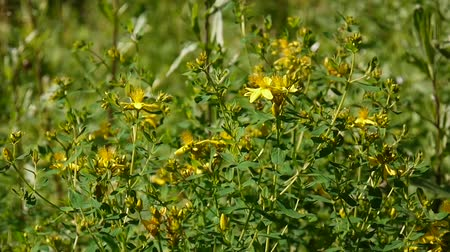 St. Johns wort, medicinal plant with flower in the field. Стоковые видеозаписи