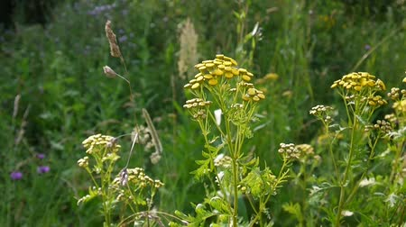 wort : Bitter golden buttons of Tanacetum vulgare yellow flower shrub on the wind HD footage - Tansy perennial herbaceous flowering plant. Static camera