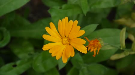 Calendula flower, medicinal plant. Calendula officinalis. Video footage. Стоковые видеозаписи