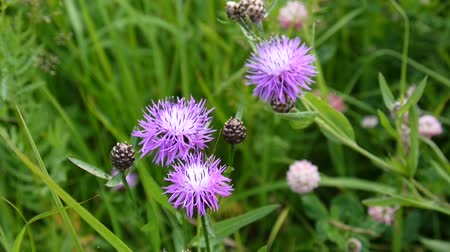 Meadow knapweed. Centaurea jacea flower in the summer field