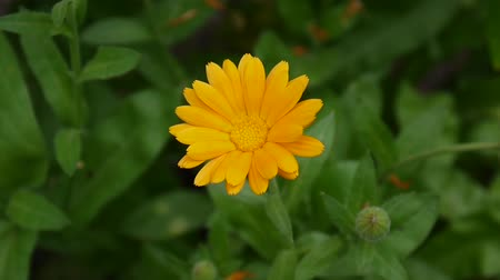 calendula officinalis : Calendula flower, medicinal plant. Calendula officinalis. Video footage. Stock Footage