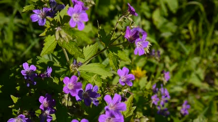 герань : Wild Cranesbill in the fiel in summer sunny day. Geranium pratense close up footage shooting static camera.