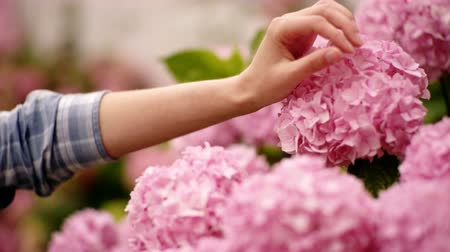 ortanca : Gardening in bushes of hydrangea. Girls hand touches bunch in country garden. Woman is gardener and florist. Beauty treatment concept.