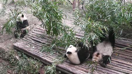 bamboo forest : Feeding the Pandas.Chengdu Panda Breeding and Research Center. China.