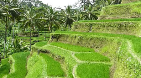 indonesia : Rice terraces. The island of Bali. Indonesia.