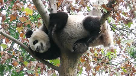 The giant panda is sleeping on the tree Stok Video
