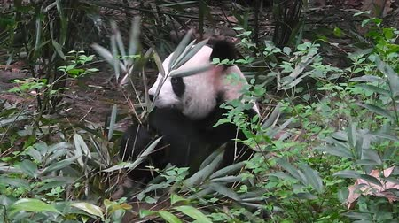 celý : Giant panda eating bamboo