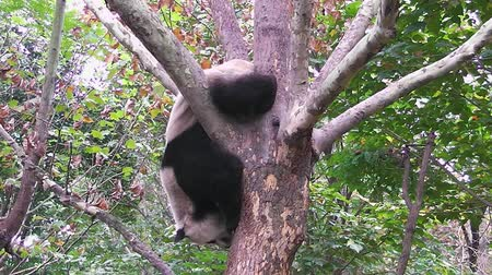 Giant panda hanging on a tree