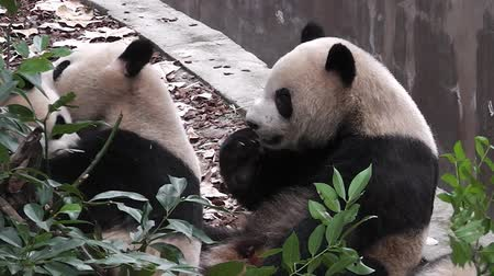 The giant panda bears Stok Video