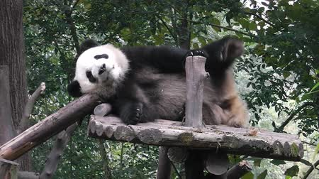 The giant panda bear