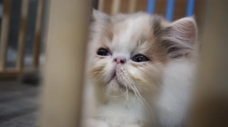 肉食動物 : Cute young cat in wooden cage. Sad kitten looking through the cage in captivity