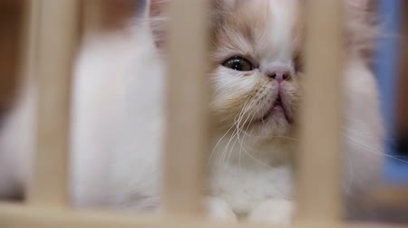animal adoption : Cute young cat in wooden cage. Sad kitten looking through the cage in captivity