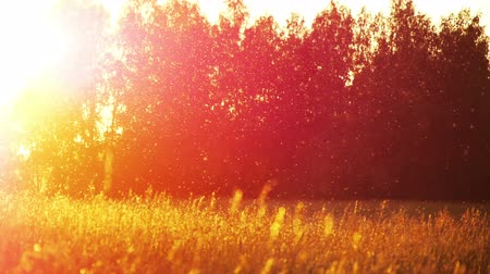 evening sun : field of grass at a sunset Stock Footage