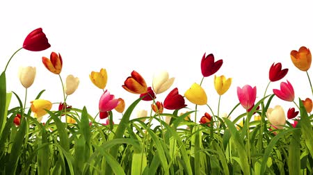 bouquets : Colorful tulips with alpha channel Stock Footage
