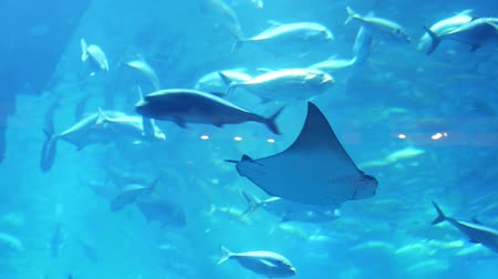 wieloryb : Stingray in aquarium in Dubai Mall