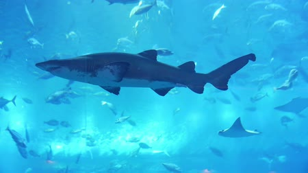 wieloryb : Shark in aquarium in Dubai Mall
