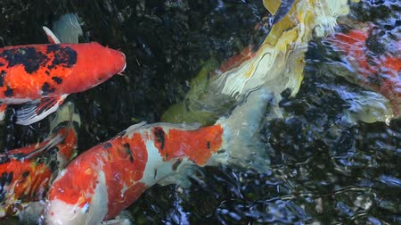 дзен : Koi fish in the pond
