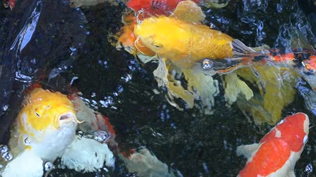 japonya : Koi fish in the pond