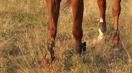 hoofs : Close-up of legs of a brown horse on the dry grass.