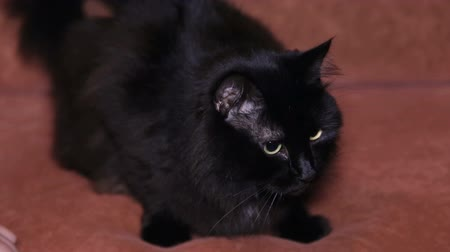 animalthemes : Close-up of a black cat sitting on the couch. Black kitten. Stock Footage