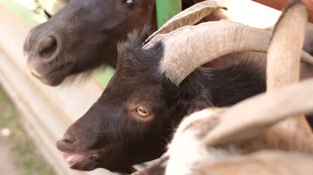 billy goat : Close-up of a goat and a horse on a farm. Goats and horses behind a wooden fence, close-up. Farm. Agriculture.