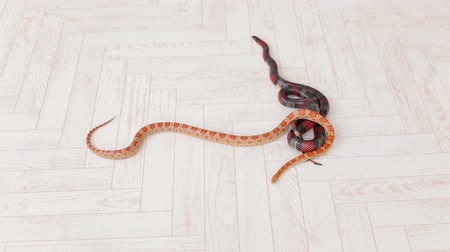 boa : Two snakes crawl on the white wooden floor. Sinaloan milk snake.