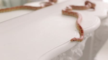 boa : Colorful orange snake crawls on a white vintage table, close-up. Serpens. Reptiles. Snake.