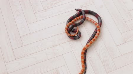 slithering : Two snakes crawl on the white wooden floor. Sinaloan milk snake. Serpens. Reptiles. Snake.