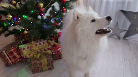 samoyed : Adorable husky dog near New year tree, guards Christmas presents. Close-up. Dog husky Samoyed near the Christmas tree. White fluffy dog in the house near the decorated Christmas tree.