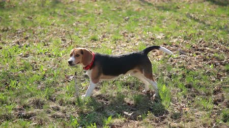 nibble : Funny beagle dog play on the green grass in sunny day.