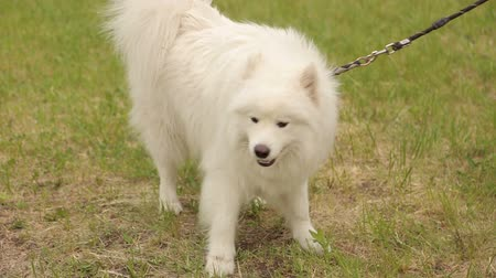 samoyed : Close-up of a white dog husky Samoyed on a leash walking in the Park on the green grass. Stock Footage