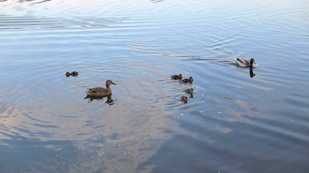 anas platyrhynchos : Ducks and little ducklings swim in the lake in the summer, close-up.