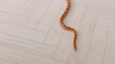 slithering : Orange snake slowly slithers around the white wooden floor. South American coral snake. Serpens. Reptiles. Snake.