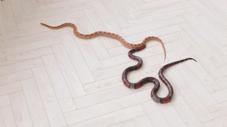 slithering : Two snakes crawl on the white wooden floor. Sinaloan milk snake.