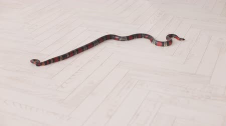 milk snake : Black and red snake slowly slithers around the white wooden floor. South American coral snake. Serpens. Reptiles. Snake.