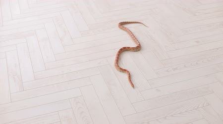 boa : Orange snake slowly slithers around the white wooden floor. South American coral snake. Serpens. Reptiles. Snake.