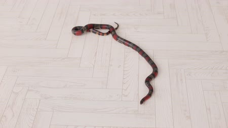 boa : Close-up of a black-and-red snake lies on a white wooden floor. South American coral snake. Serpens. Reptiles. Snake.