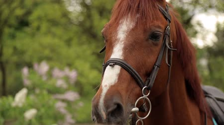 poník : Close-up of the muzzle of a brown horse with a white spot in the Park on the background of green trees.