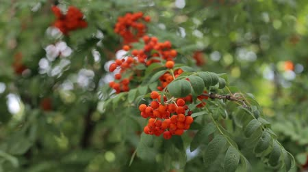 rowanberry : Decorative red fruit of a rowan tree. Rowan tree with rowan berry. Bright rowan berries with leafs on a tree.